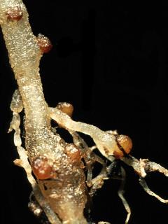 Paecilomyces lilacinus