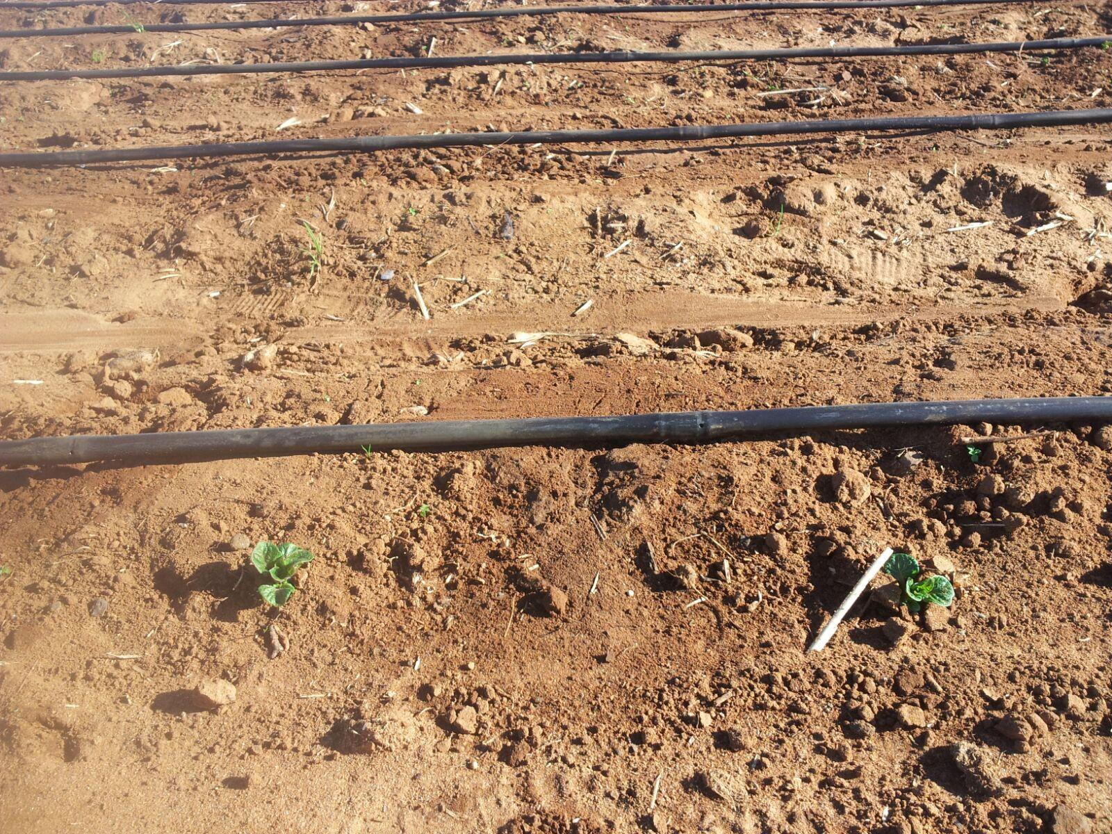 Goutte goutte par irrigation bessente - Irrigation goutte a goutte ...