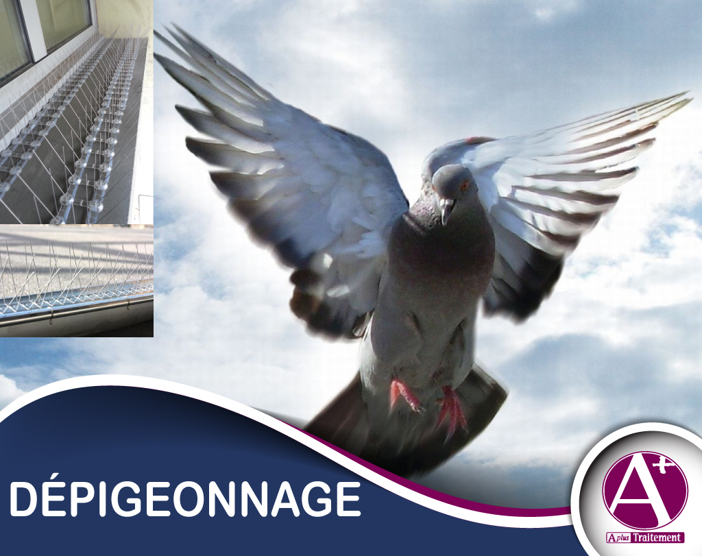 L'équipeAPLUS Traitements'engage à résoudre toutes les problématiques liées aux volatiles (pigeons bisets, mouettes, b