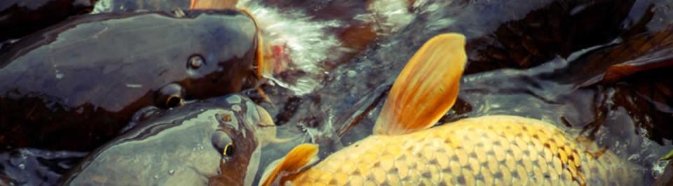 Prodej živých sladkovodních ryb Společnost Rybaspol A & V, spol. s r. o. nabízí prodej živých sladkovodních ryb Ostrava