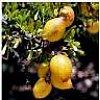 HUILE D'ARGAN PRESSION A FROIDNom INCI ARGANIA SPINOSIA OILN° CAS 223747-87-3DEFINITION:Huile provenant d'un arbre origi